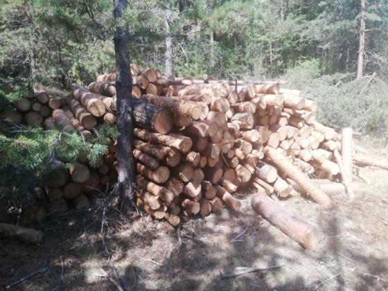 Откриха незаконна сеч на 51 бели бора в горско стопанство край Велинград